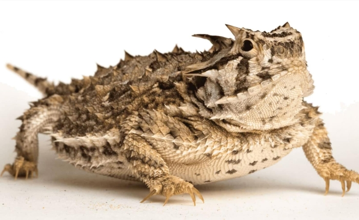 "Press Rewind: ""Horny Toad"""